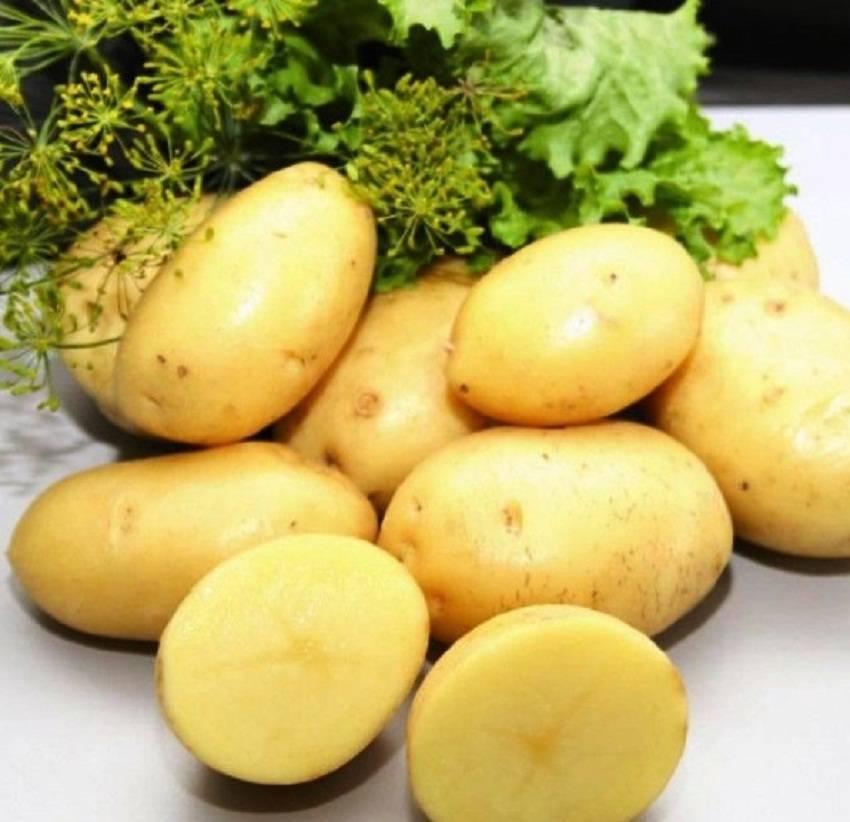 Сорт ривьера — находка для ценителей молодого картофеля