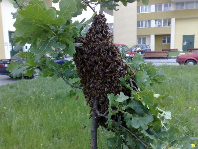 Как использовать пчелиный рой - начинающему пчеловоду