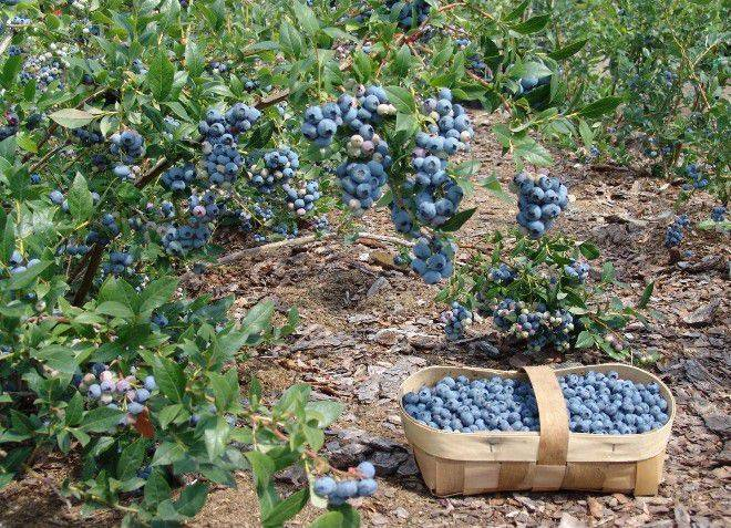 Голубика сорта дарроу: характеристика сорта и тонкости выращивания