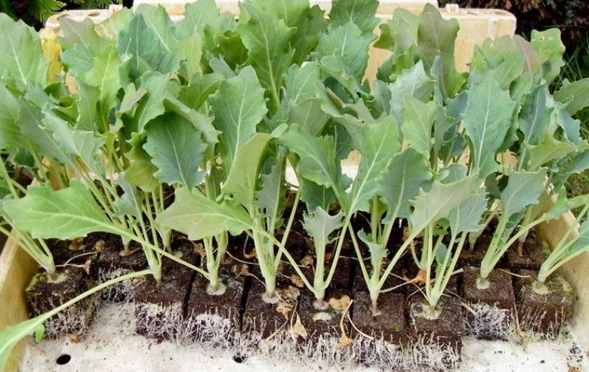 Брокколи: выращивание на огороде, посадка и уход