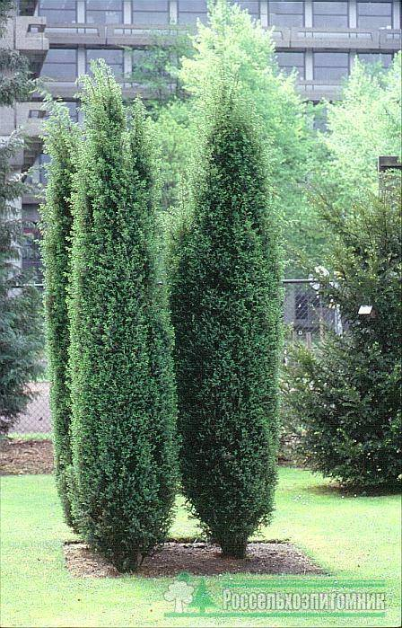 Можжевельник обыкновенный 'хиберника', описание, фото, условия выращивания, уход