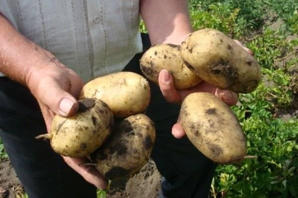 Подробное описание картофеля джувел: пошаговая инструкция по выращиванию и другие практические рекомендации