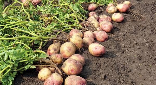 Картофель лапоть (сибирский, башкирский): описание сорта, фото, отзывы, выращивание