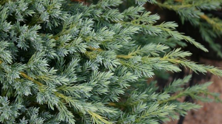Характеристика и выращивание можжевельника чешуйчатого