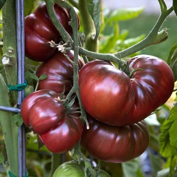 Черный томат кумато: характеристики и отзывы о сорте