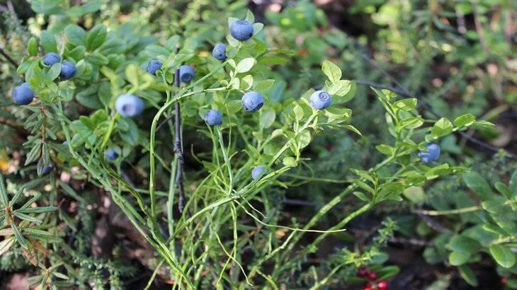 Дерен кустарник: посадка и уход в саду, размножение в открытом грунте