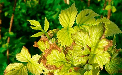 Почему желтеют листья у смородины и что делать