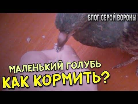 Как выкормить и выходить птенца голубя в домашних условиях