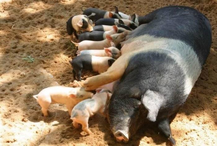 Супоросная свинья: кормление и содержание