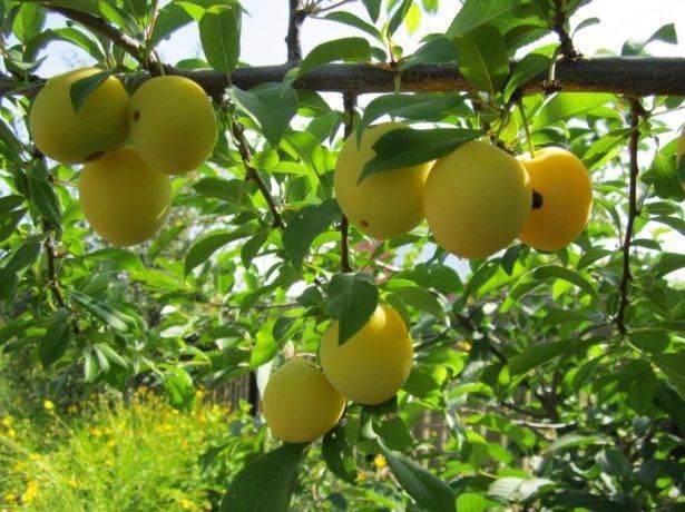 Описание и фото алычи «злато скифов» — посадка и уход за растением