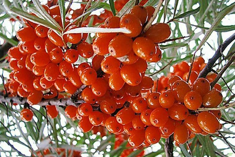 Облепиха красноплодная — описание сорта, фото и отзывы садоводов