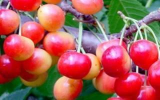 Всё о дюках — гибридах вишни и черешни