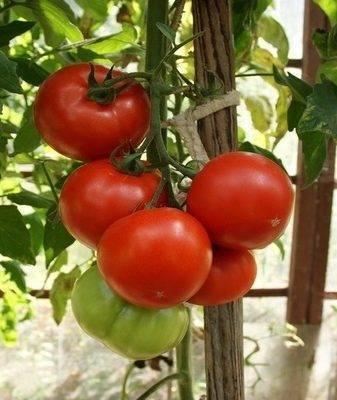 Махитос — голландский гибрид, отменивший моду на розовые помидоры
