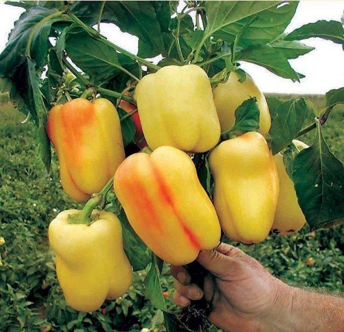 Выращивание редиса в открытом грунте: правила посадки и ухода