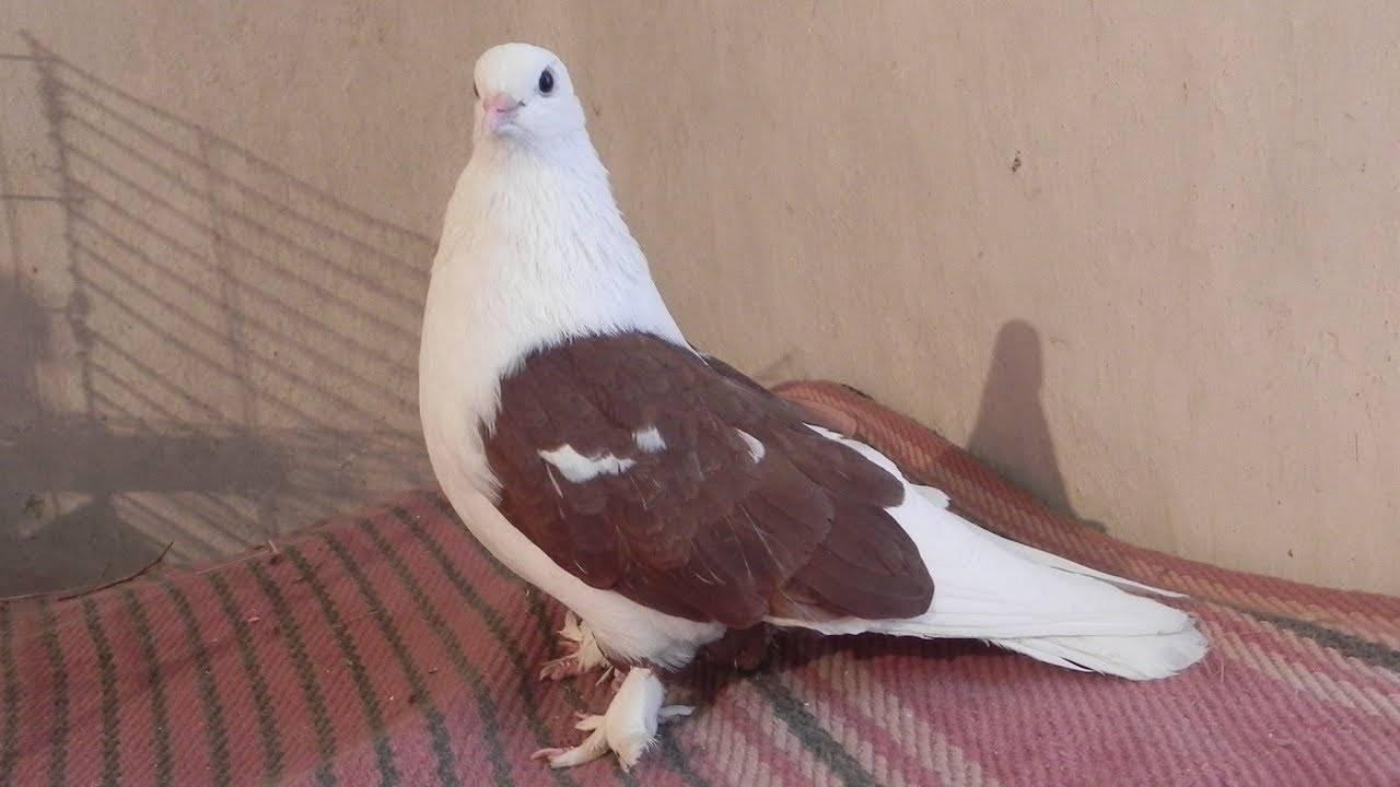 Почтовые голуби: описание, породы, фото, как определяют, куда лететь