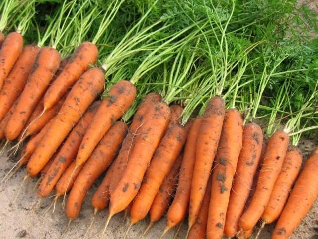 Самые благоприятные дни для посева моркови в 2020 году по лунным фазам