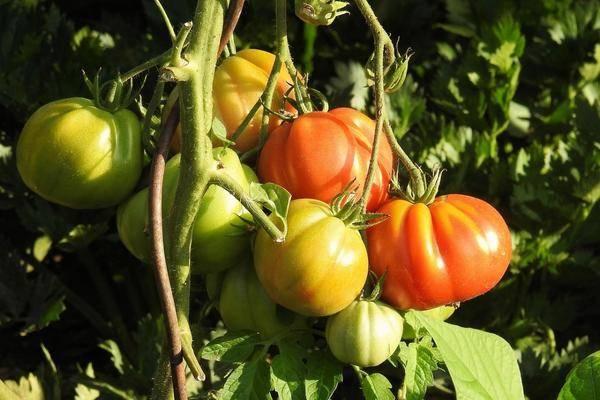 Сорта томатов для открытого грунта, низкорослые, самоопыляемые и другие: какие гибриды помидоров лучше сажать в средней полосе россии, на урале и в сибири?