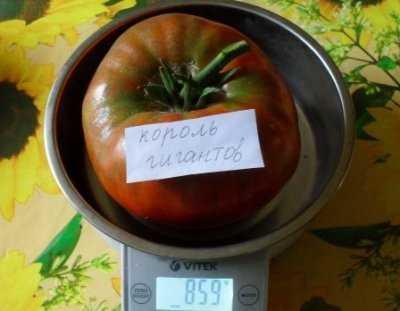 Один из лучших сортов крупноплодных помидоров король гигантов