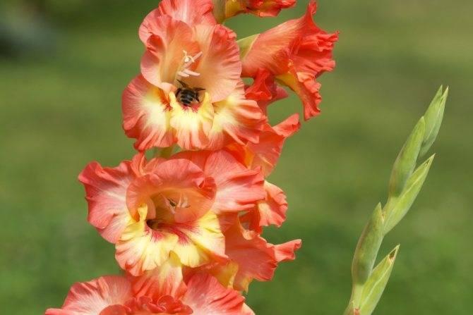 Как красиво посадить гладиолусы на участке: фото ландшафтного дизайна в саду
