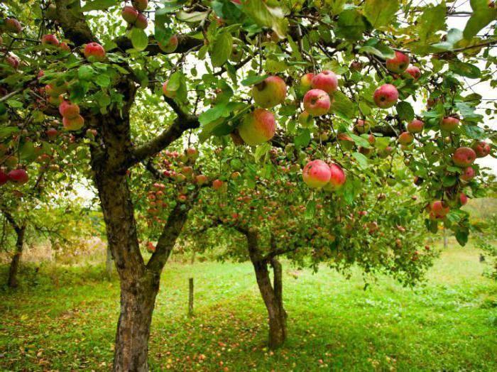 Яблоня «башкирская красавица» описание, посадка и уход, фото: познаем подробно