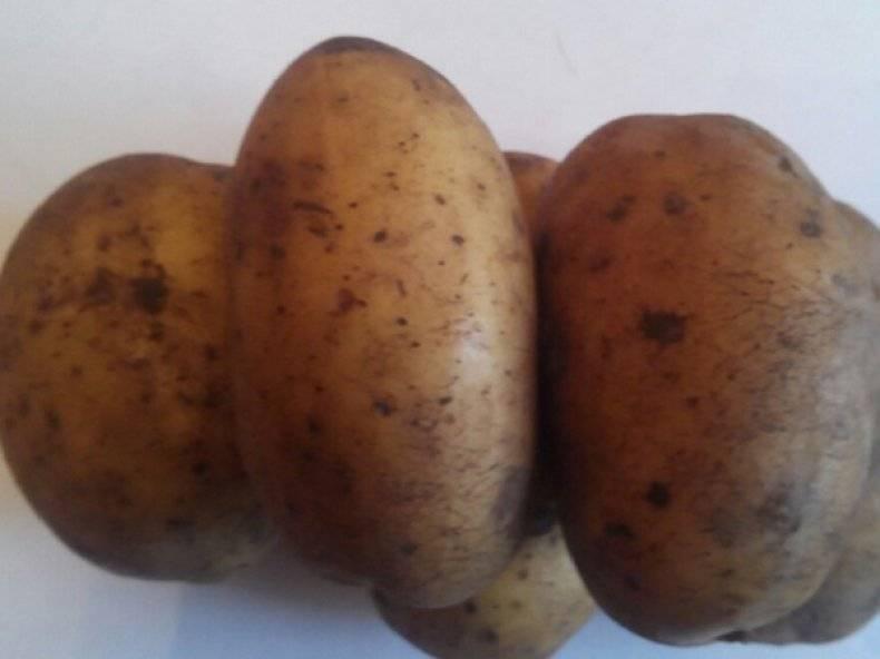 Описание сорта картошки королева анна, фото, отзывы | весьогород.ру