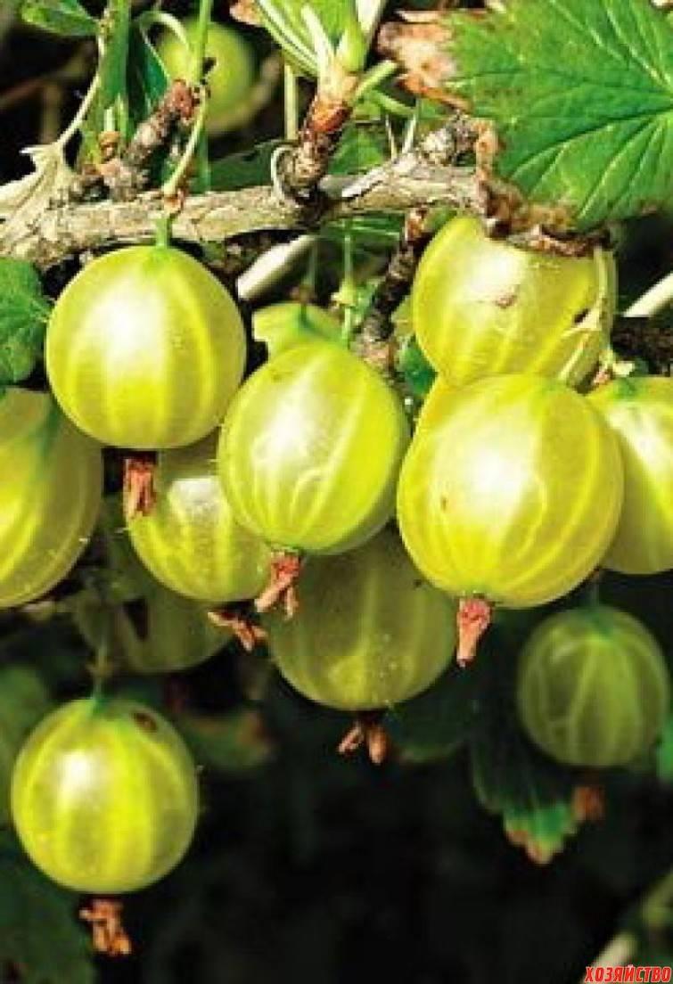 Крыжовник балтийский: характеристика, особенности выращивания и размножения