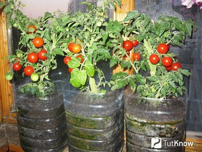 Как вырастить помидоры дома: как посадить комнатные томаты в горшке в условиях квартиры или на лоджии, можно ли это делать зимой, а еще пошаговая инструкция процесса