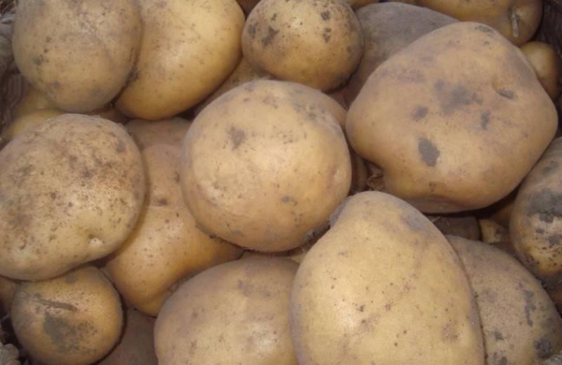 Сорт картофеля тимо ханккиян: описание, посадка и уход