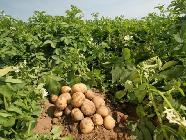 Удобрения для картофеля при посадке в лунку - виды удобрения и как правильно удобрять