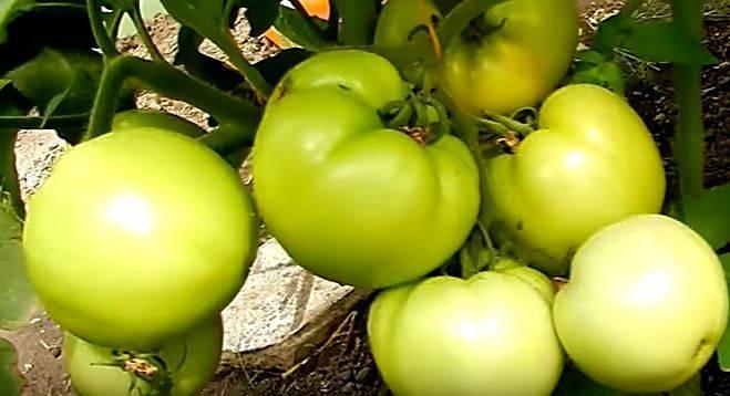 Томат бобкат f1: описание сорта, выращивание, отзывы и фото гибрида