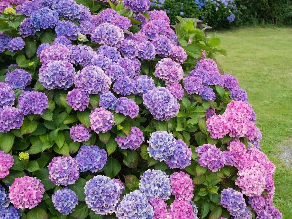 Почему не цветет гортензия садовая, крупнолистная, как быстро она растет?