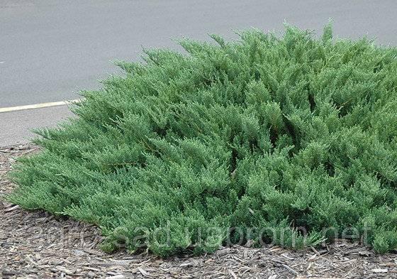 Как выглядит можжевельник тамарисцифолия: посадка и уход за растением