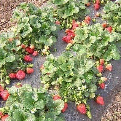 Урожайный сорт клубники первоклассница