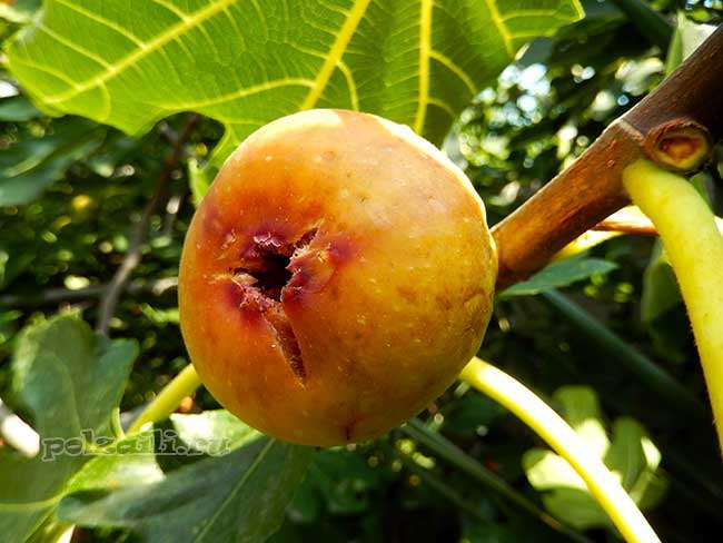 Инжир: полезные свойства и противопоказания
