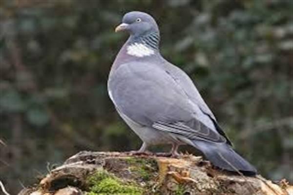Сколько может жить уличный голубь