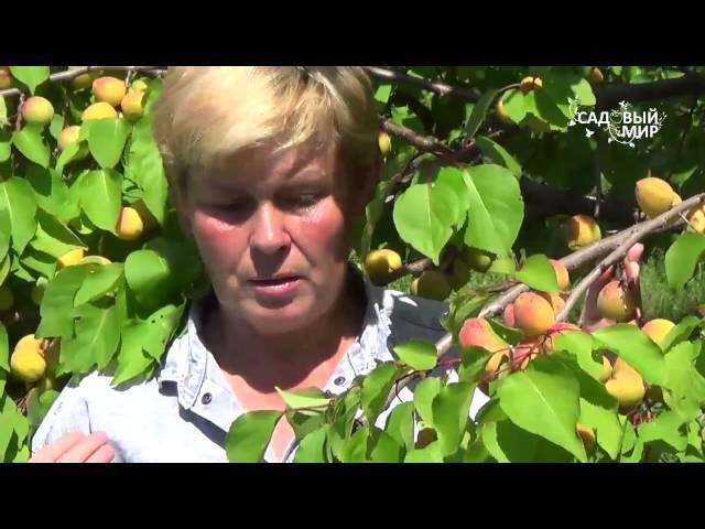 Сорт абрикос царский: полезные свойства и уход