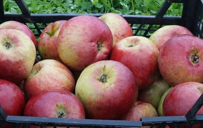 Сорт яблони жигулёвское: как получить высокий урожай и справиться с недостатками