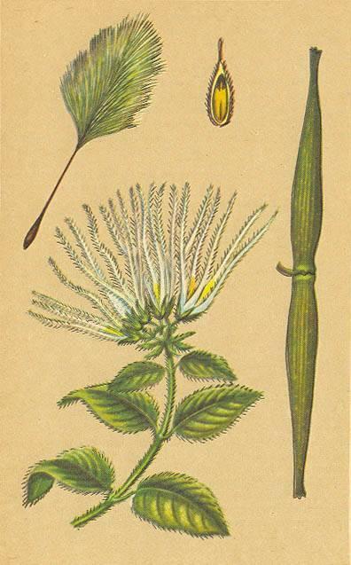 Безвременник или колхикум: описание, выращивание и применение