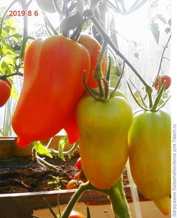 Сорт с бесподобной стойкостью — томат вовчик: описание помидоров и их характеристики