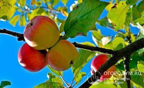 Яблоня ред делишес