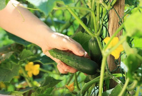 О выращивании огурцов в подмосковье