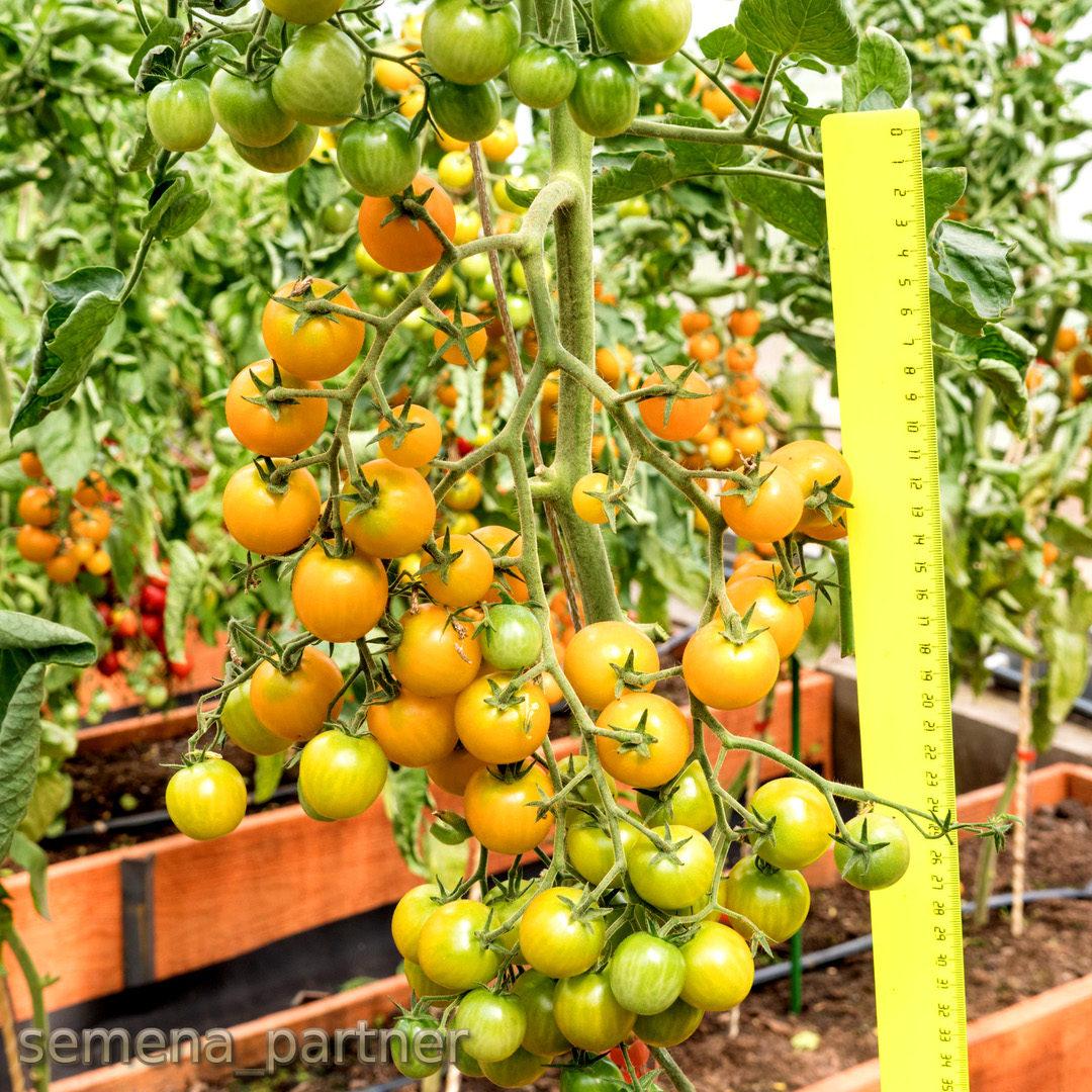 Гибрид от агрофирмы партнер — томат фамилия f1: описание сорта и особенности его выращивания