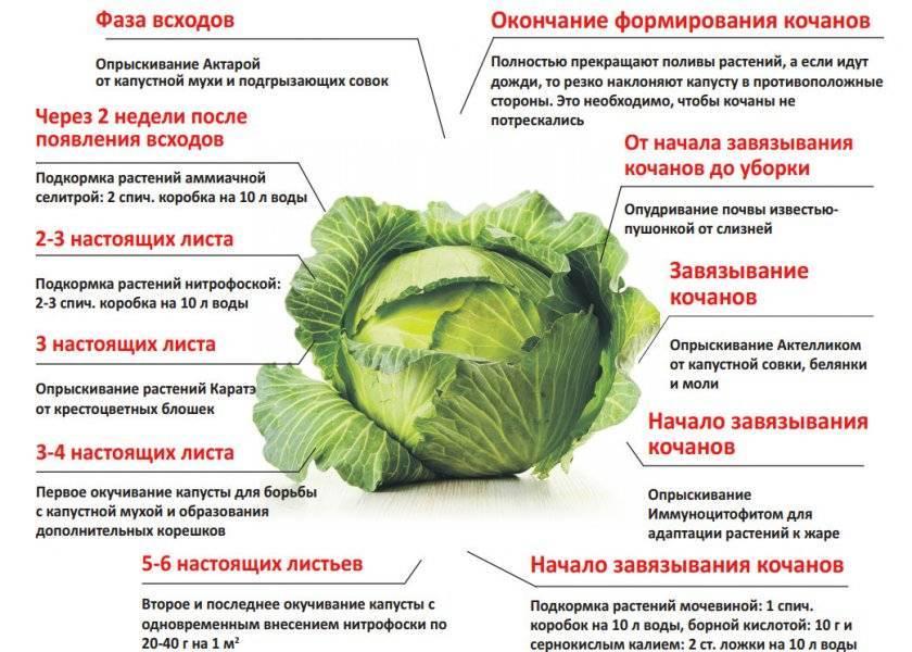 Капуста мензания f1: особенности и характеристика сорта, выращивание и уход