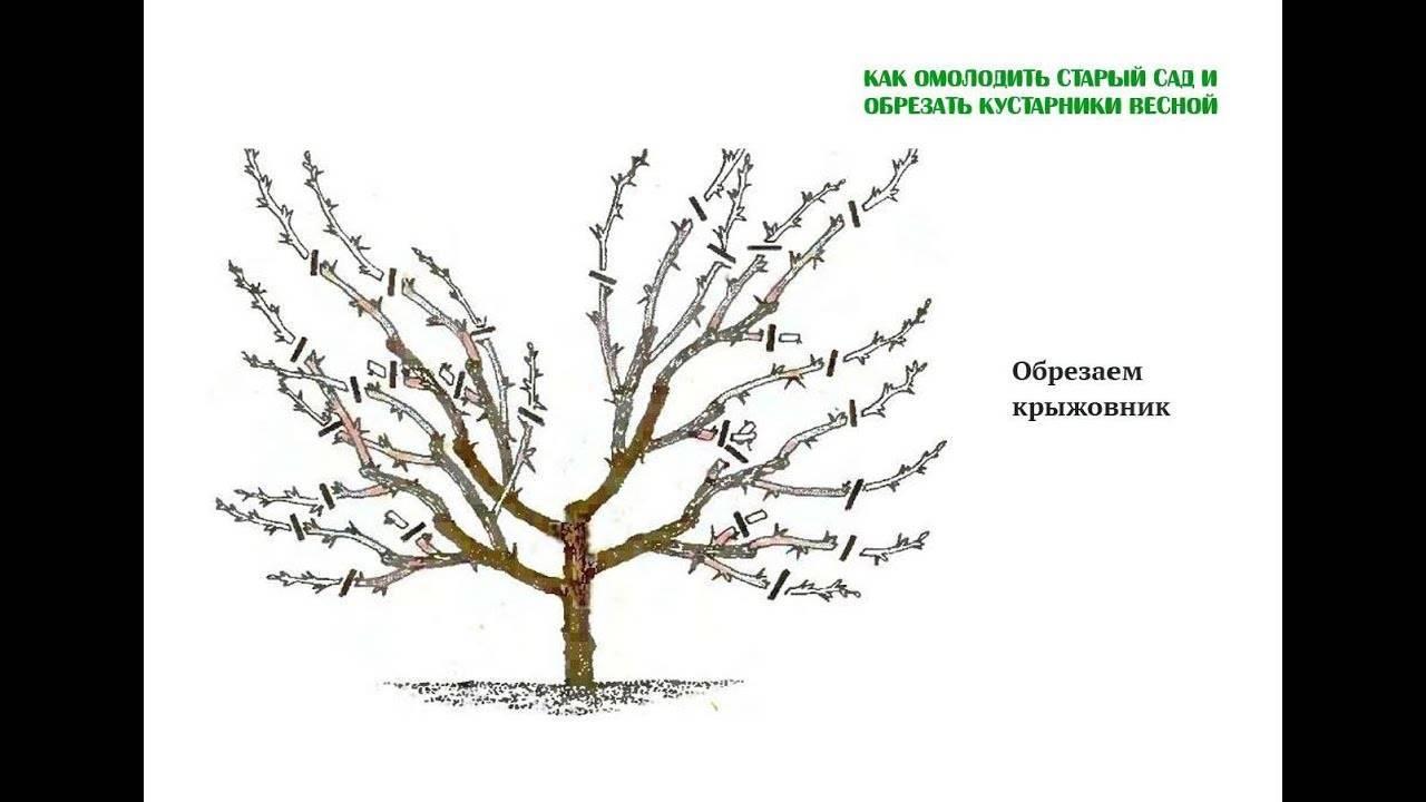 Обработка смородины от болезней и вредителей весной: пошаговая инструкция