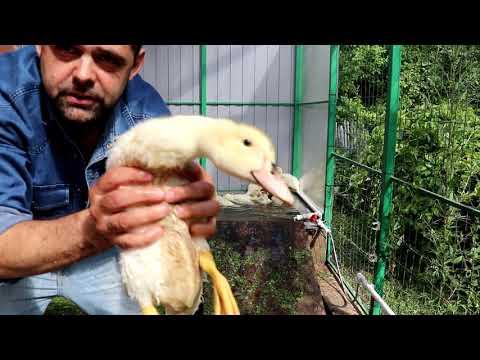 Бройлерная утка: как выращивать в домашних условиях