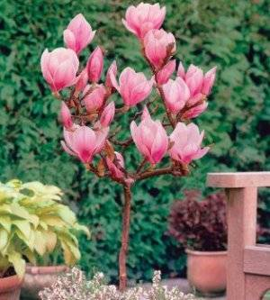 Цветок магнолия: выращивание в Подмосковье