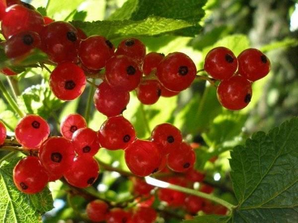 Красная смородина ровада: особенности сорта, агротехника и уход