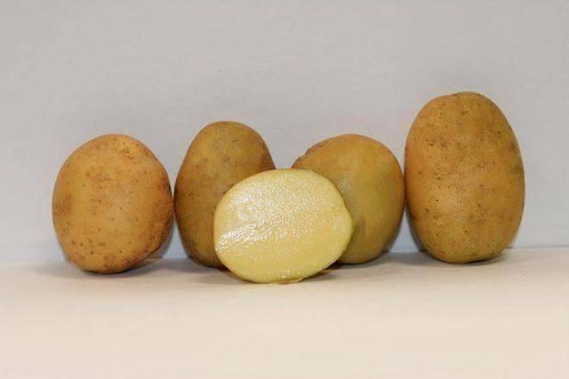 Сорт картофеля импала: описание, посадка и уход