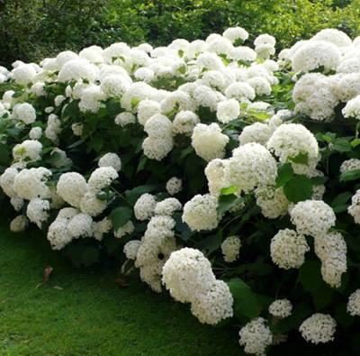 Гортензия метельчатая: новые сорта, выращивание, обрезка