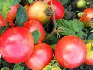 Крайне жизнеспособный, вкусный и плодовитый томат «лисичка»
